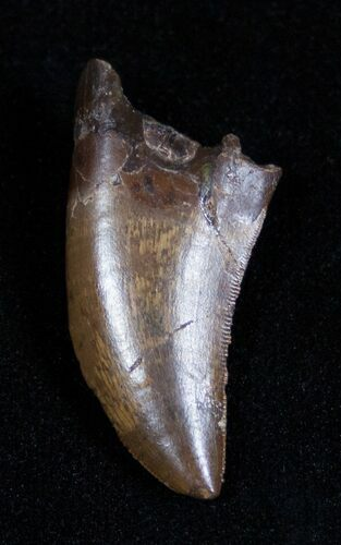 Spectacular 1.41 Inch Nanotyrannus Tooth (or T-Rex)