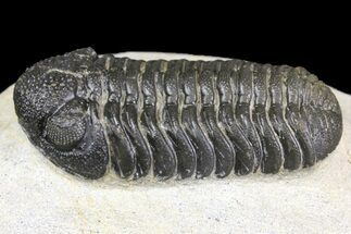 "2.1"" Detailed Morocops Trilobite - Ofaten, Morocco For Sale, #154199"