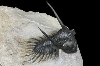Kayserops megaspina - Fossils For Sale - #154302