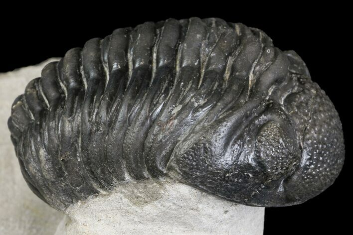 "2.5"" Pedinopariops Trilobite With Good Eyes - Mrakib, Morocco"