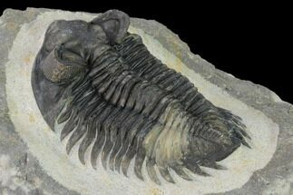 "Buy 2.35"" Coltraneia Trilobite Fossil - Huge Faceted Eyes - #154333"