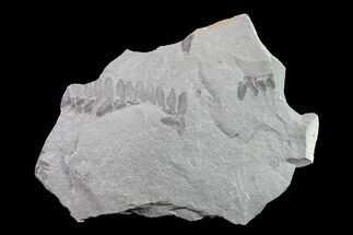 Neuropteris sp. - Fossils For Sale - #154683