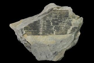 Calamites sp.  - Fossils For Sale - #154737