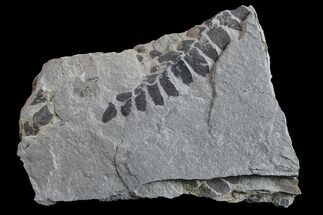 Neuropteris sp. - Fossils For Sale - #154728