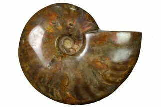 "Buy 4.5"" Flashy Red Iridescent Ammonite - #155191"