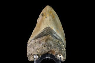 "Buy 4.03"" Fossil Megalodon Tooth - North Carolina - #147763"