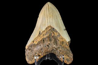 Carcharocles megalodon - Fossils For Sale - #147768