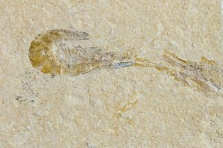 "1.1"" Cretaceous Fossil Shrimp (Carpopenaeus) - Lebanon For Sale, #154553"