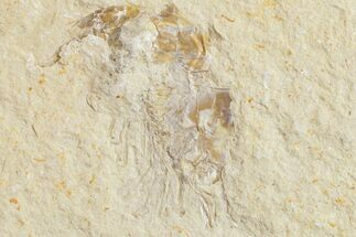 Carpopenaeus callirostris - Fossils For Sale - #154563