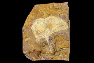 "Buy 2.9"" Fossil Ginkgo Leaf From North Dakota - Paleocene - #156220"
