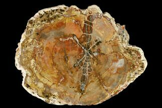 Araucaria sp. - Fossils For Sale - #157728