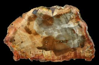 "5.9"" Petrified Wood (Araucaria) Slab - Madagascar  For Sale, #157832"