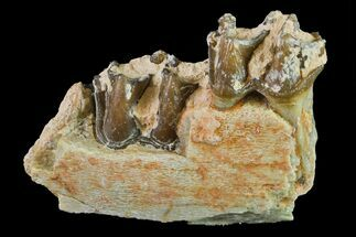 Mesohippus sp. - Fossils For Sale - #157470