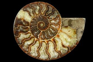 Cleoniceras - Fossils For Sale - #157938