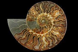 "5.3"" Cut & Polished Ammonite Fossil (Half) - Madagascar For Sale, #157967"