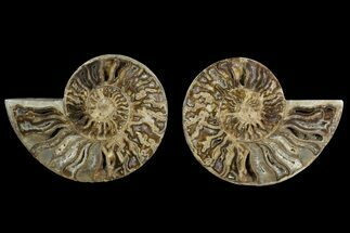 "10.3"" Daisy Flower Ammonite (Choffaticeras) - Madagascar For Sale, #157523"