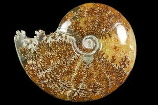 "Buy 5.45"" Polished Ammonite (Cleoniceras) Fossil - Madagascar - #158272"