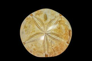 "3.25"" Polished Fossil Sand Dollar (Mepygurus) - Jurassic For Sale, #158099"