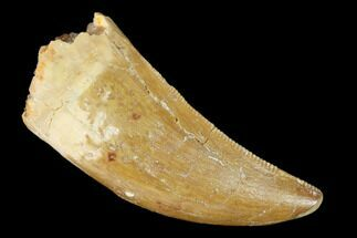 "Buy 1.51"" Serrated, Carcharodontosaurus Tooth - Real Dinosaur Tooth - #156886"