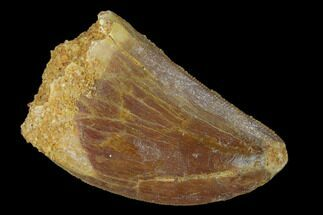 "1.34"" Serrated, Carcharodontosaurus Tooth - Real Dinosaur Tooth For Sale, #156896"
