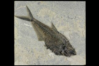 "11.8"" Detailed Fossil Fish (Diplomystus) - Wyoming For Sale, #158561"