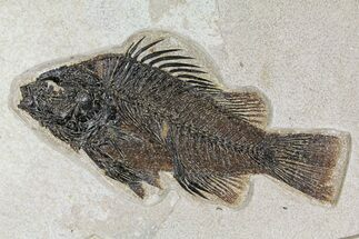"Buy Large, 9.4"" Fossil Fish (Priscacara) - Wyoming - #158578"