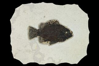 "5.3"" Fossil Fish (Cockerellites) - Wyoming For Sale, #158564"