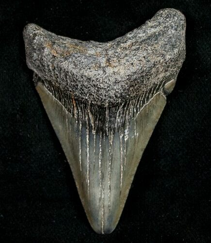 "2.25"" Juvenile Megalodon Tooth - South Carolina"