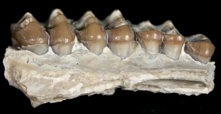Oligocene Camel (Poebrotherium) Jaw Section