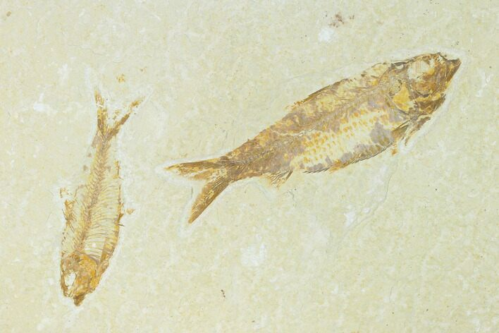 Pair of Fossil Fish (Knightia) - Green River Formation