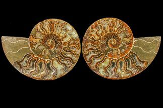 Cleoniceras - Fossils For Sale - #158331