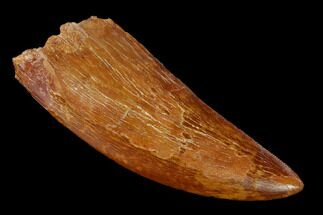 "3.24"" Serrated, Carcharodontosaurus Tooth - Morocco For Sale, #159350"