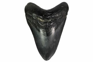 "4.85"" Fossil Megalodon Tooth - South Carolina For Sale, #159446"