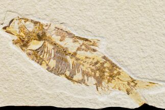 "Buy 4.1"" Fossil Fish (Knightia) - Wyoming - #159553"