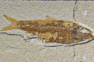 "4.5"" Fossil Fish (Knightia) - Wyoming For Sale, #159062"
