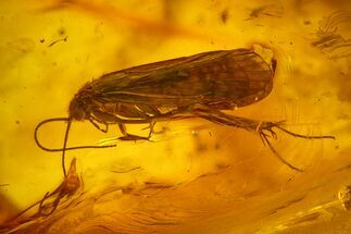 Detailed Fossil Caddisfly (Trichoptera) In Baltic Amber For Sale, #159761