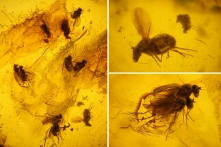 Several Detailed Fossil Flies (Diptera) In Baltic Amber For Sale, #159767