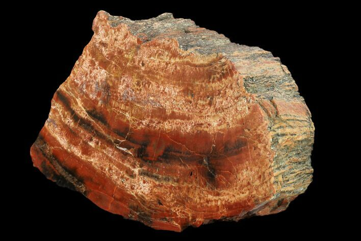 "8"" Polished, Red/Black Petrified Wood (Araucarioxylon) - Arizona"
