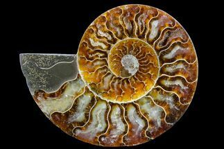 "Buy 4.45"" Cut & Polished Ammonite Fossil (Half) - Madagascar - #158059"