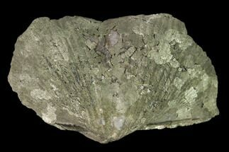 "1.8"" Pyrite Replaced Brachiopod (Paraspirifer) Fossil - Ohio For Sale, #160088"
