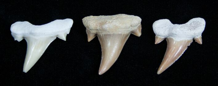 3 Small Otodus Fossil Shark Teeth