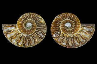 Cleoniceras - Fossils For Sale - #145998