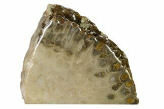 "4.2"" Free-Standing, Petoskey Stone (Fossil Coral) Section - Michigan For Sale, #160268"