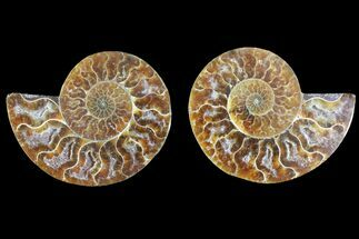 Cleoniceras - Fossils For Sale - #145920
