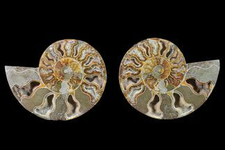 Cleoniceras - Fossils For Sale - #148020