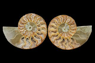 "Bargain, 4.1"" Cut & Polished Ammonite Fossil (Pair) - Madagascar For Sale, #148040"