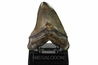 Carcharocles megalodon - Fossils For Sale - #160410