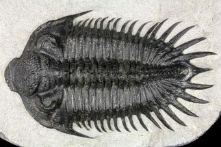 "Buy 3.5"" Spiny Saharops Trilobite - Oued Ghris, Morocco - #161338"