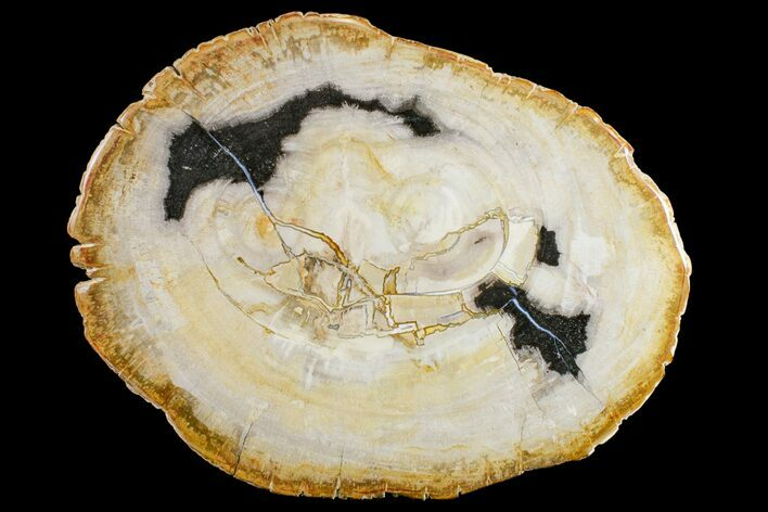 "12"" Petrified Wood (Tropical Hardwood) Slab - Indonesia"