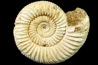 Perisphinctes sp. - Fossils For Sale - #161727